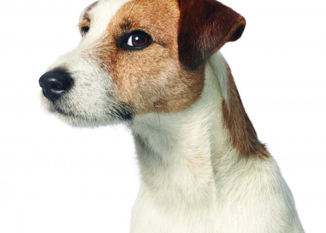 Baxter_JackRussell2
